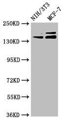 UMODL1 Antibody in Western Blot (WB)