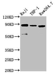 ADAM8 Antibody in Western Blot (WB)