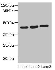 MAPKAPK3 Antibody in Western Blot (WB)
