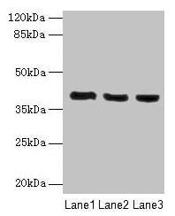 C9orf64 Antibody in Western Blot (WB)