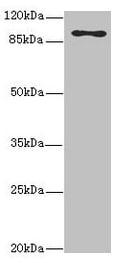 MTHFD1L Antibody in Western Blot (WB)