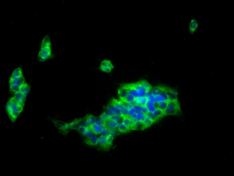 CD85j (ILT2) Antibody in Immunofluorescence (IF)
