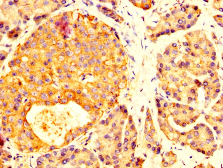 MYOC Antibody in Immunohistochemistry (Paraffin) (IHC (P))