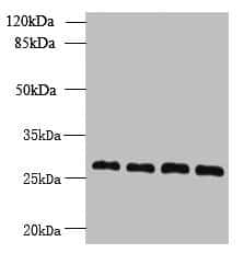 YIPF4 Antibody in Western Blot (WB)
