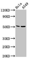 CHRDL1 Antibody in Western Blot (WB)