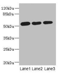 C6orf211 Antibody in Western Blot (WB)