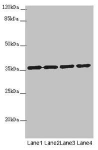 OSGEP Antibody in Western Blot (WB)