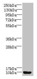 PROK2 Antibody in Western Blot (WB)