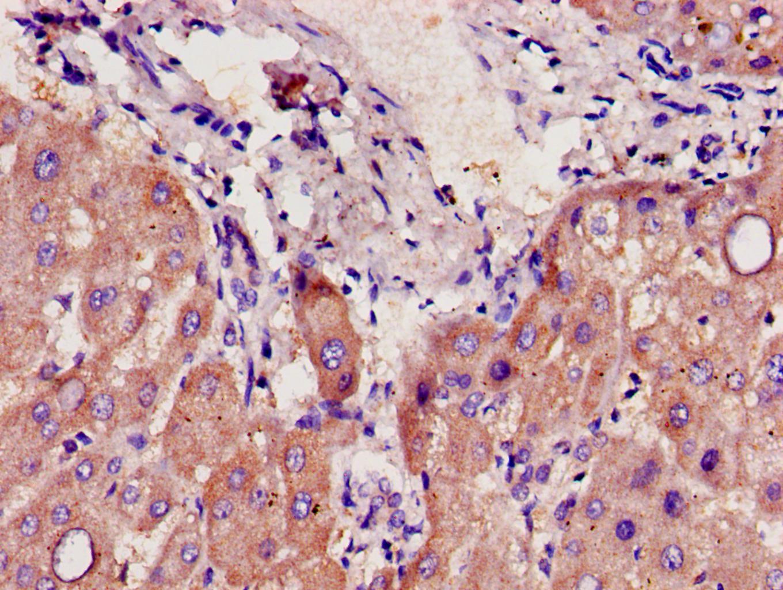 CYP39A1 Antibody in Immunohistochemistry (Paraffin) (IHC (P))