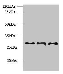 BarX1 Antibody in Western Blot (WB)