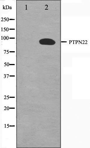 PTPN22 Antibody in Western Blot (WB)