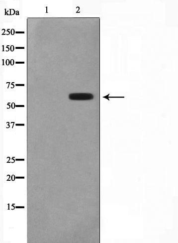 CYP2C19 Antibody in Western Blot (WB)
