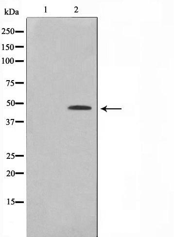 Phospho-CtBP1 (Ser422) Antibody in Western Blot (WB)