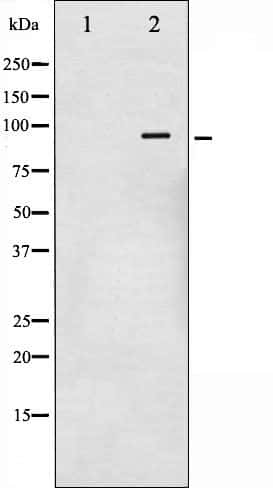 Phospho-Glucocorticoid Receptor (Ser211) Antibody in Western Blot (WB)