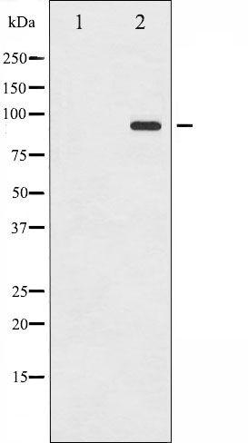 Phospho-ICAM-1 (Tyr512) Antibody in Western Blot (WB)