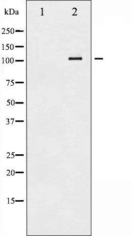 Phospho-ATP1A1 (Ser23) Antibody in Western Blot (WB)