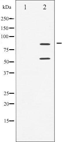Phospho-PI3K p85/p55 (Tyr458, Tyr199) Antibody in Western Blot (WB)