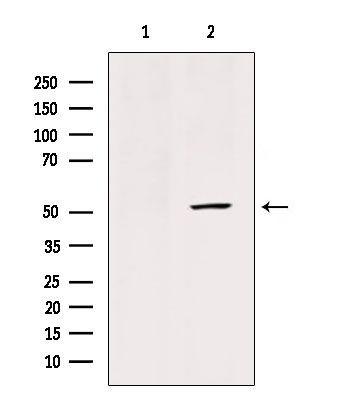GLUT3 Antibody in Western Blot (WB)