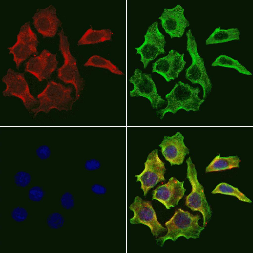 RHOA Antibody in Immunofluorescence (IF)