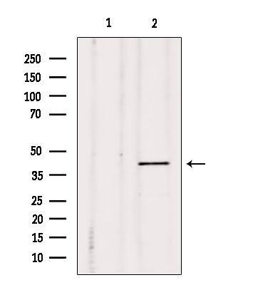 DUSP4 Antibody in Western Blot (WB)