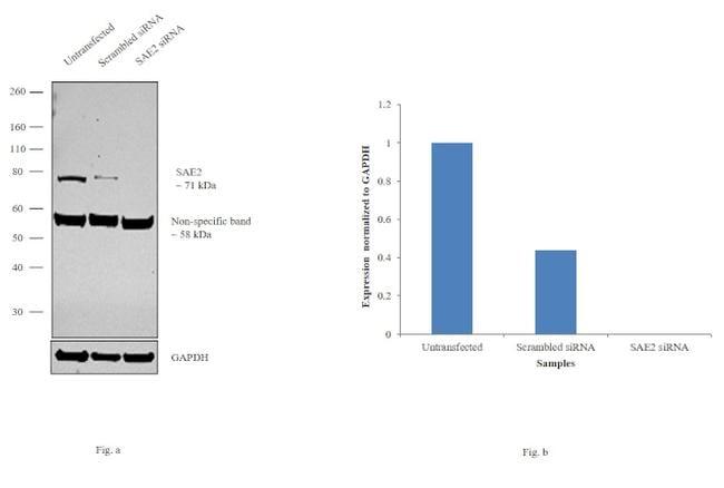 UBA2 Antibody in Knockdown