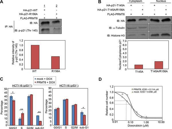 Phospho-p21 (Thr145) Antibody
