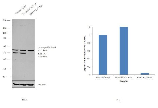 EEF1A1 Antibody in Western Blot (WB)