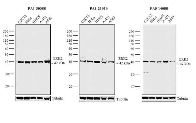 ERK2 Antibody in Independent antibody
