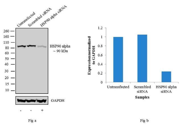 HSP90 alpha Antibody in KnockDown