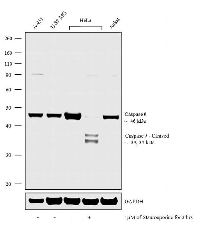 Caspase 9 Antibody in Cell Treatment