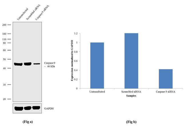 Caspase 9 Antibody in Western Blot (WB)
