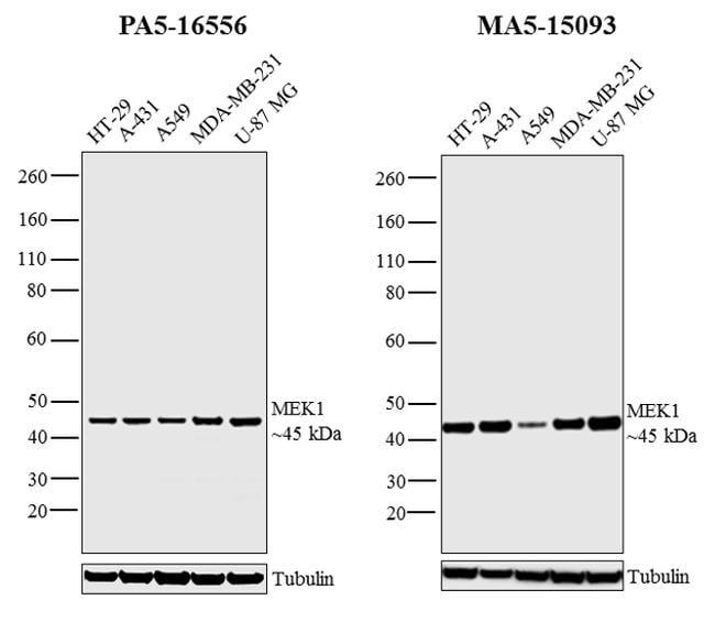 MEK1 Antibody in Independent antibody