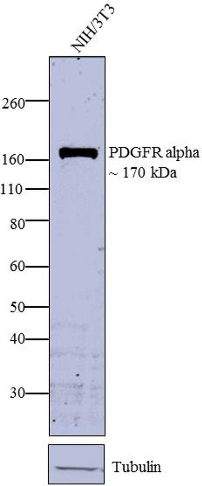 PDGFRA Antibody in Western Blot (WB)