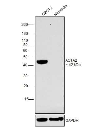 Alpha-Smooth Muscle Actin Antibody in Relative expression