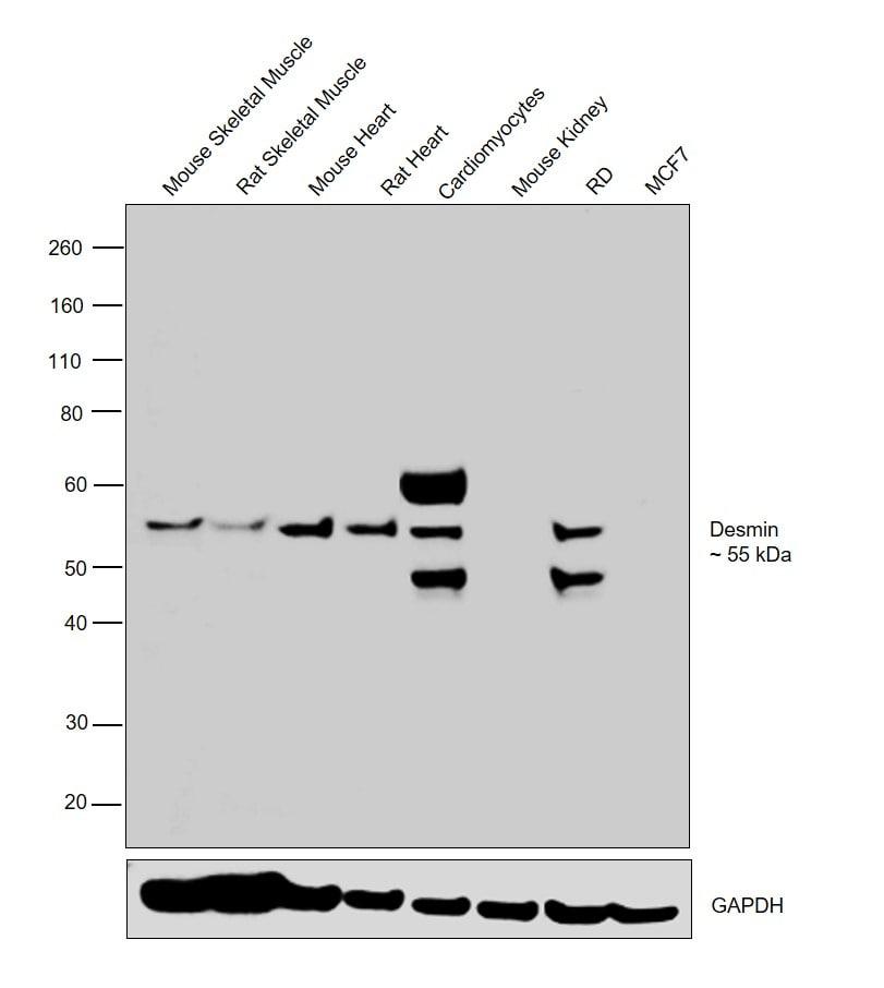 Desmin Antibody in Relative expression
