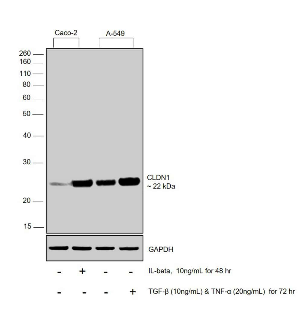 Claudin 1 Antibody in Western Blot (WB)