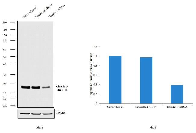 Claudin 3 Antibody in Western Blot (WB)