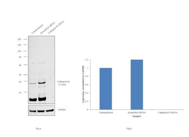Cathepsin B Antibody in Western Blot (WB)