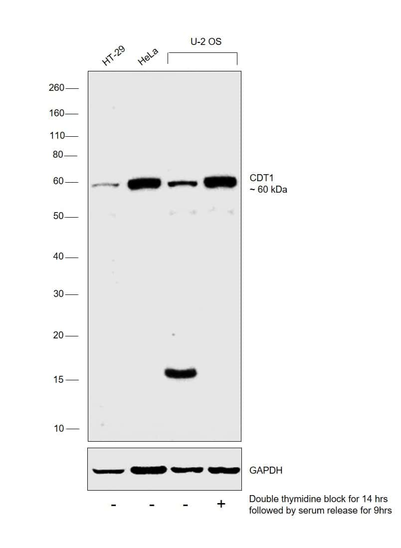 CDT1 Antibody in Cell treatment