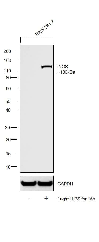 iNOS Antibody in Cell treatment