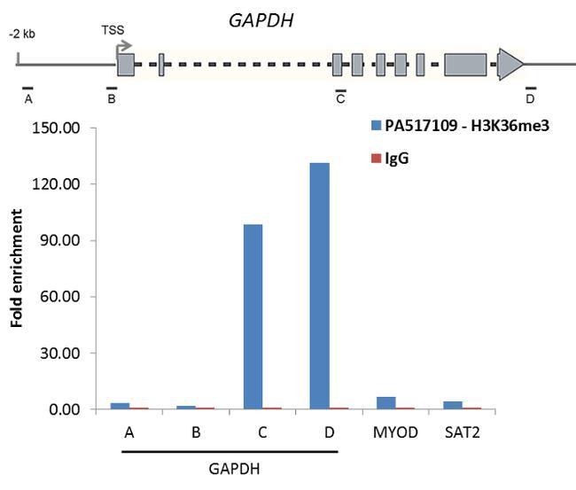 Tri-Methyl-Histone H3 (Lys36) Antibody in ChIP assay (ChIP)