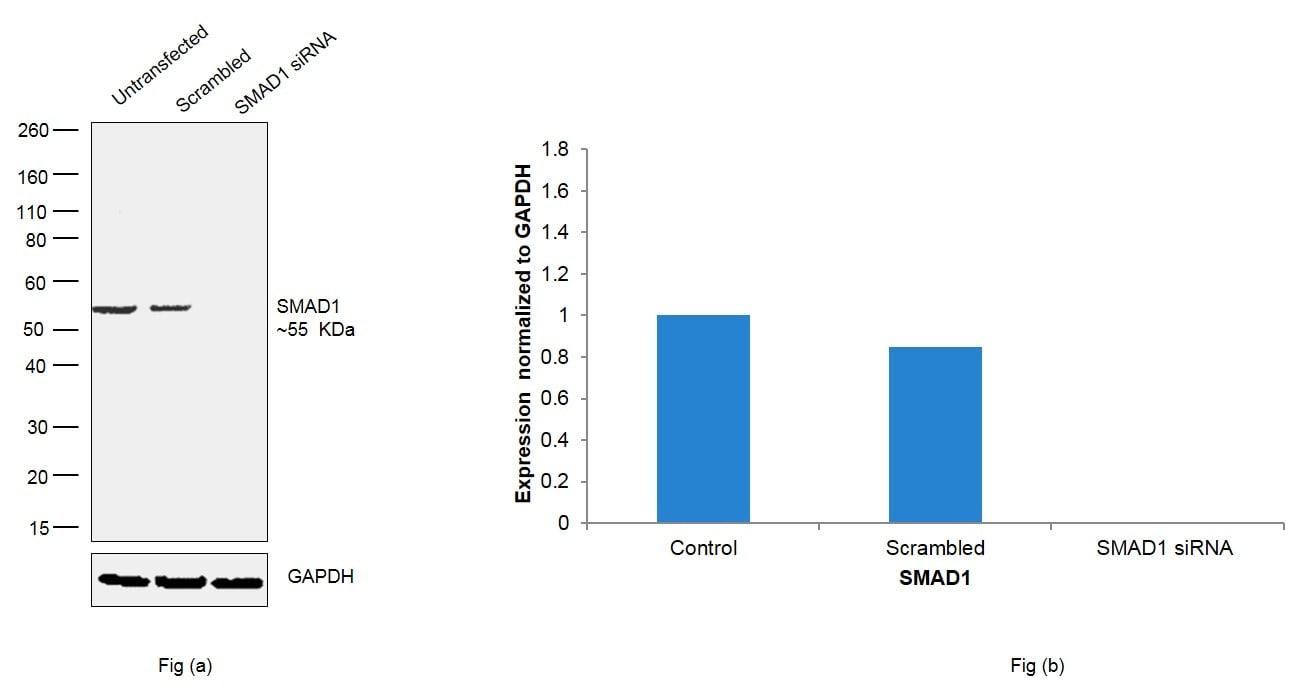 SMAD1 Antibody in Knockdown