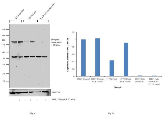 Phospho-beta Catenin (Ser552) Antibody in Western Blot (WB)