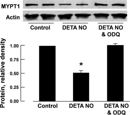 MYPT1 Antibody