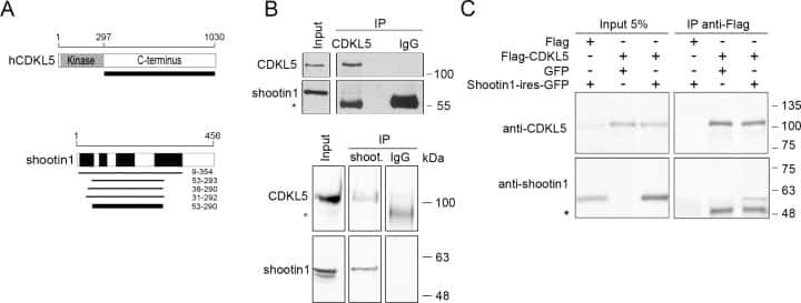 Shootin1 Antibody