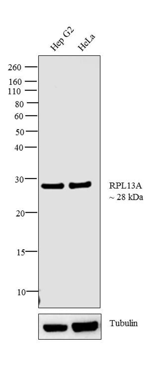 RPL13A Antibody in Western Blot (WB)