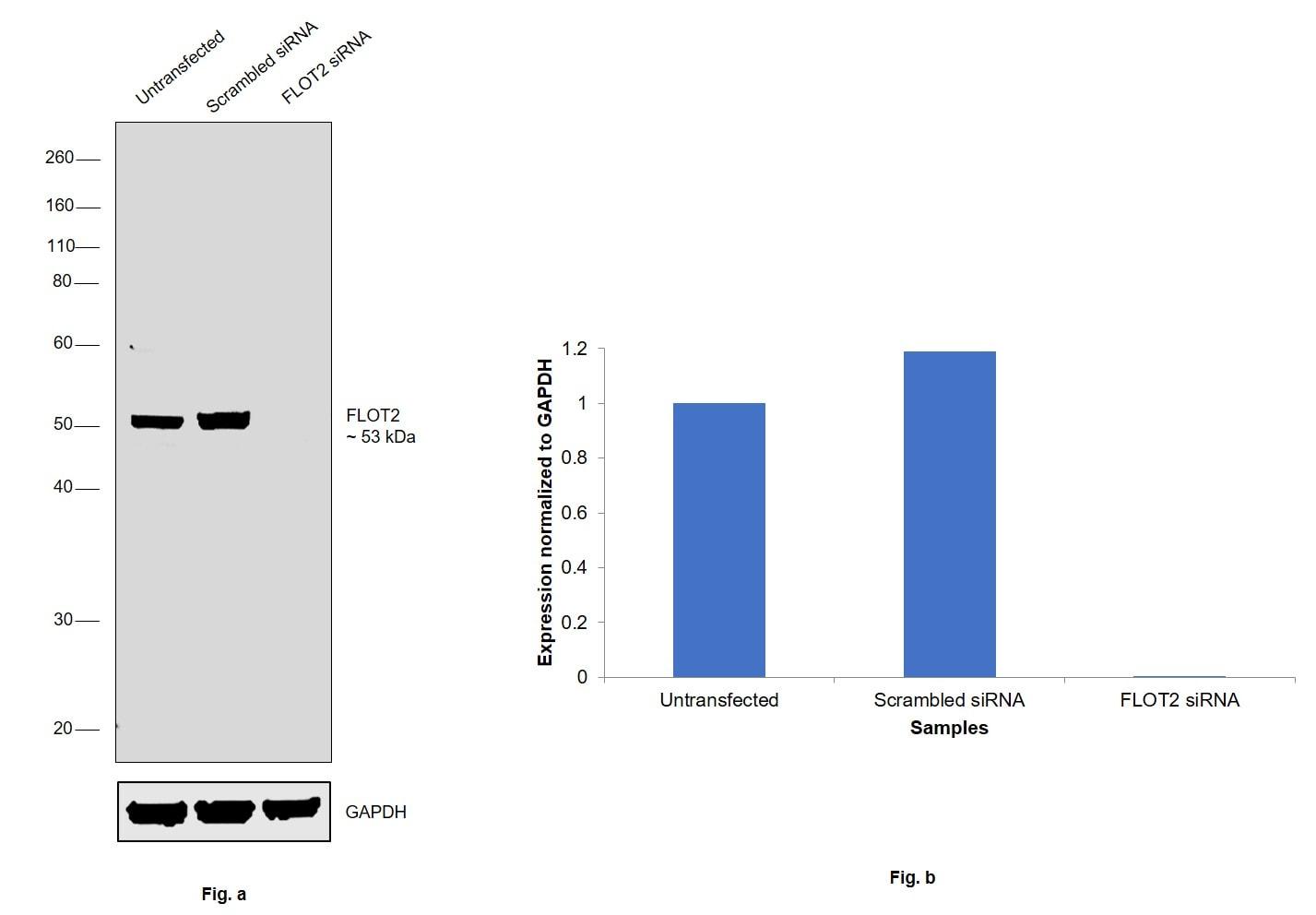 Flotillin 2 Antibody in Knockdown