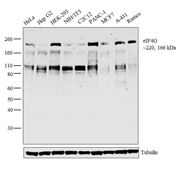 eIF4G Antibody in Western Blot (WB)