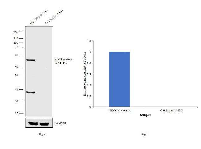 Calcineurin A Antibody in Western Blot (WB)
