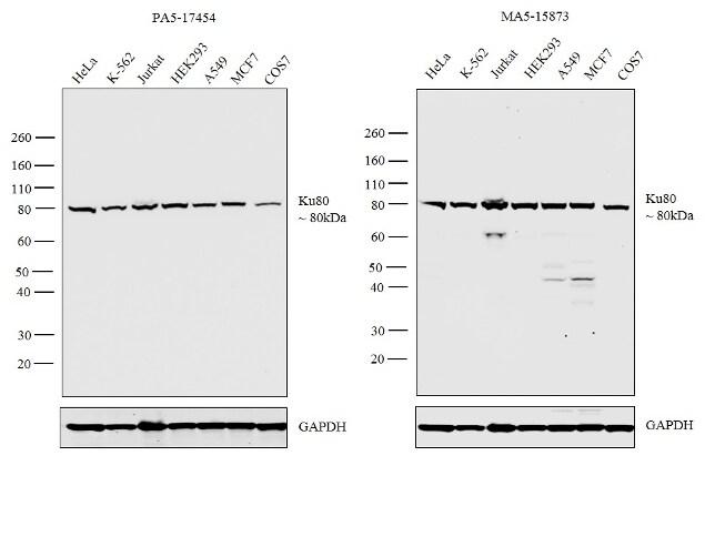 Ku80 Antibody in Independent antibody